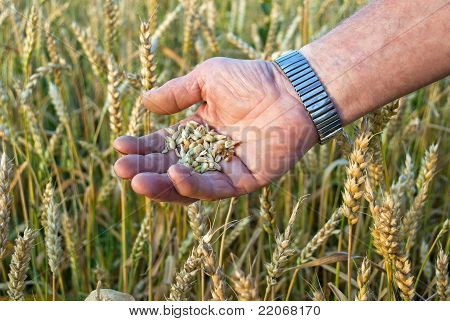 Man's Hand With A Grain Handful