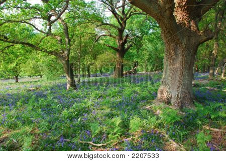 Bluebell Meadow And Oak Tree Grove In Springtime