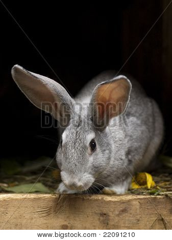 Grayish Rabbit.