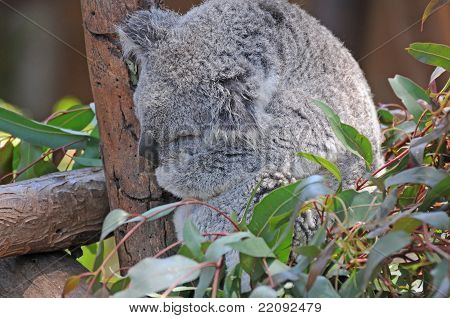 Koala Asleep In The Trees