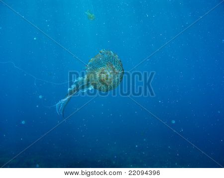 Underwater Shot Of Jelly Fish