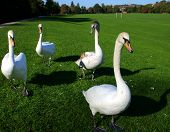 Group Of Four Swans