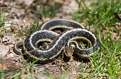 stock photo of garden snake  - a Common Garter Snake is coiled ready to strike - JPG
