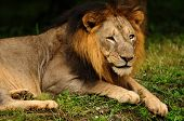 Asiatic Lion Male