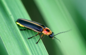 foto of lightning bugs  - A firefly on a leaf showing off its yellow glow light - JPG