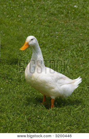 Single White Duck