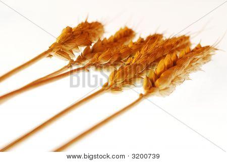 Warm Wheat