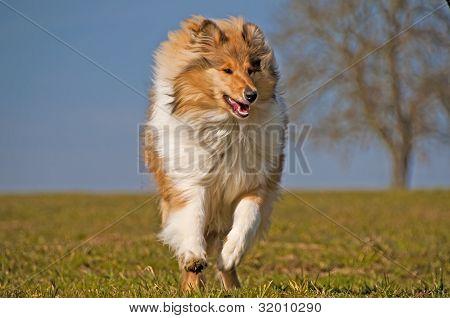 British true-bred Collie Dog