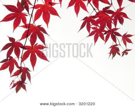 Arce japonés deja ramas contra el cielo