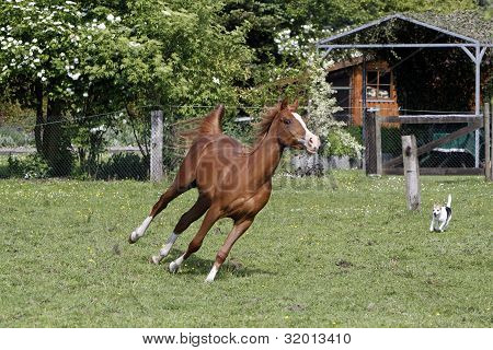 Galloping Arabian Stallion In A Pasture