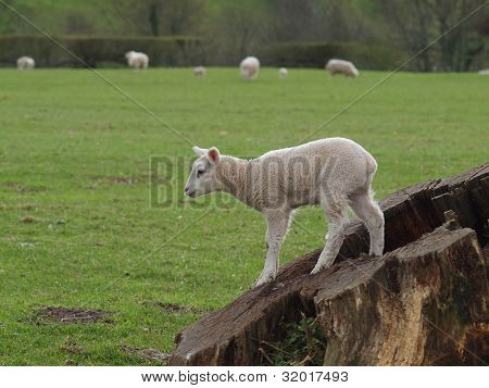 Lamb Standing On Tree Stump