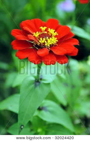 Zinnia flower (Zinnia sp)