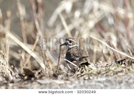 Killdeer By Brown Grass.