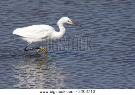 Snowy Egret (Egretta Thula) Fishing