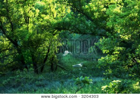 Light Throu Trees W Egret