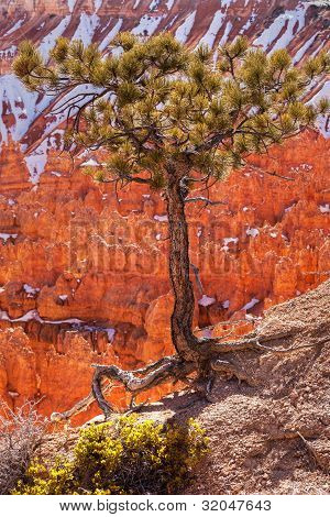 Pinyon Pine Tree Bryce Canyon National Park