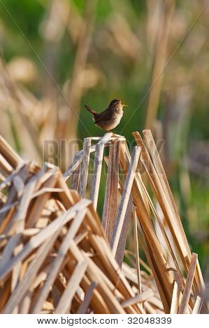 Singing Bird On The Reeds