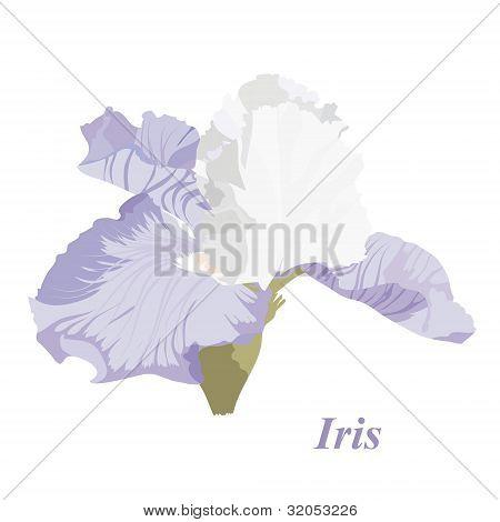 Delicate Iris
