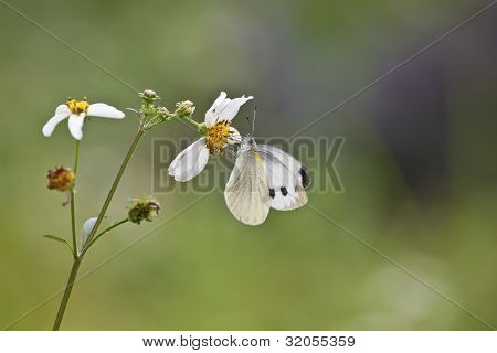 Bidens And White Butterfly