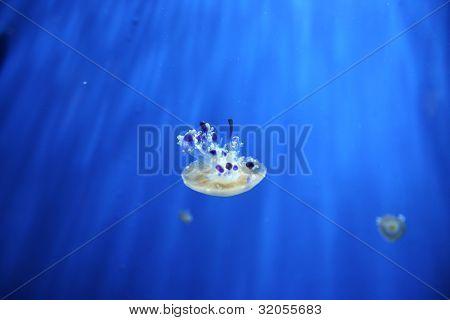 Mediterrainian jellyfish