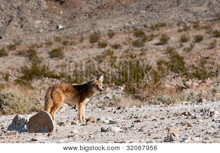 Coyote in Death Valley