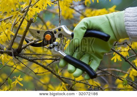 Pruning shrub
