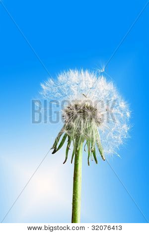 Dandelion Flower On Blue Sky
