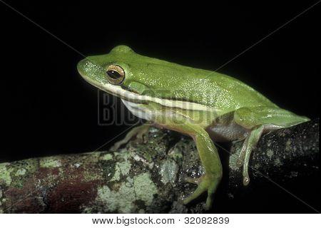 Green Tree Frog - Hyla cinerea