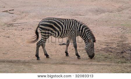 The zebra in the zoo