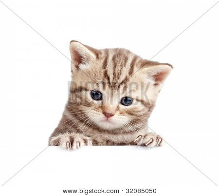 Scottish british baby kitten behind banner isolated on white
