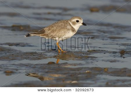 Piping Plover - Winter Plumage