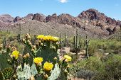 stock photo of prickly pears  - Blooming Prickly Pear Cactus and Saguaros in Hewitt Canyon - JPG