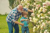 Grandfather And Grandchild Enjoying In The Garden With Roses Flowers. Watering Flowers In Garden. A  poster