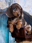 Dachshund dog portrait daple color poster
