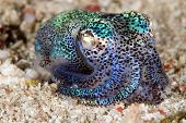 Berry's Bobtail Squid