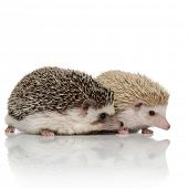 side view of couple of two adorable hedgehogs standing isolated side by side on white background, fu poster