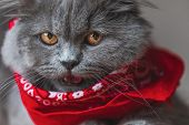 seated on wood adorable British Longhair cat with gray fur and red bandana looking at the camera ang poster