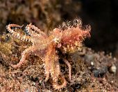 A rare capture of a small hairy octopus shot on a reef in Bali Indonesia.  This is an elusive cephal poster