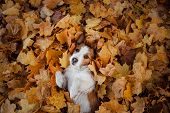 Dog In Autumn Leaves Flat Lay. Lucky Jack Russell Terrier Plays poster