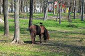 Pony Horse With Long Herd And Ponytail. Pony Rides. Pony Horse In The Park Pasture On A Sunny Day Wi poster