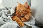 Adorable Red Cat Under Plaid On Sofa At Home. Cozy Winter poster