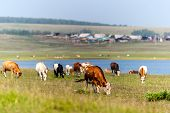 Cows Graze In A Green Meadow By The Lake. Beyond The Lake Is A Village. Farming Livestock. Future Mi poster