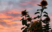 giant sunflowers at sunset - nature background poster