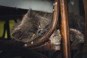 Close Up Of Grumpy Cat. Grumpy Cat Portrait. Close Up Of Grumpy Cat On Chair. Cat. Nature. Cat Nappi poster