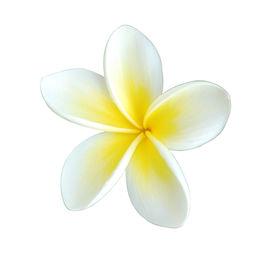 pic of single flower  - single beautiful frangipani  - JPG