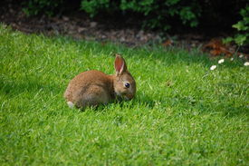 pic of bunny rabbit  - Wild baby rabbit all alone in the English countryside - JPG
