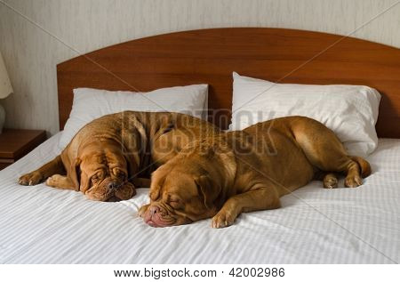Dogue De Bordeaux funny couple in the bed