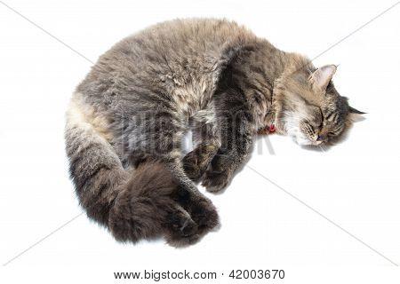 Studio Shot Of Sleeping Persian Cat