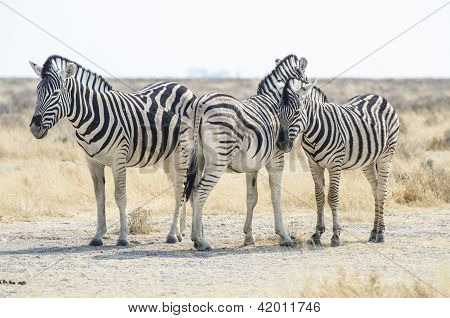 Burchells zebras in the savanna