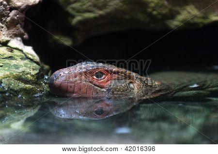 Norte Caiman Lizard
